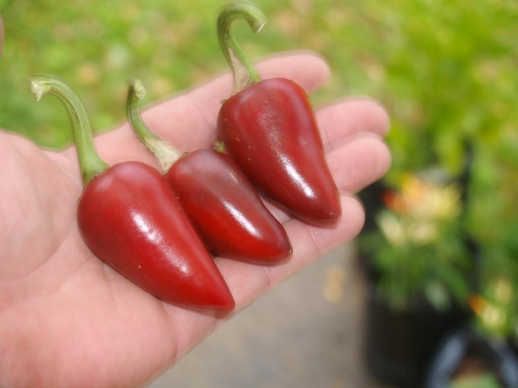 Халапеньо перец выращивание 57